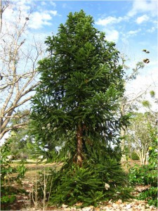 Figure 1. Paraná pine has a narrow, pyramidal form when young.