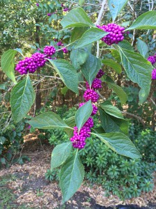 beautyberry branch with fall berries