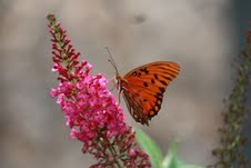 butterfly bush and gulf fritillary butterfly
