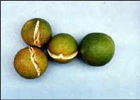 Split citrus fruit. Image credit UF / IFAS