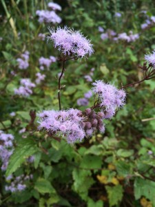 Blue Mistflower. Photo Credit Mary Derrick, UF / IFAS Extension.