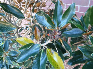 Normal seasonal color change on older 'Little Gem' Magnolia leaves. Photo by Larry Williams, Okaloosa County Extension