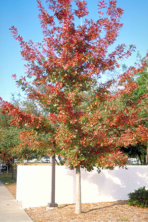 Shumard oak showing off its fall colors. Photo courtesy UF/IFAS.