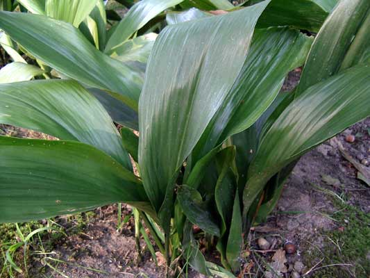 Aspidistra foliage that could easily be worked into a stunning arrangement.