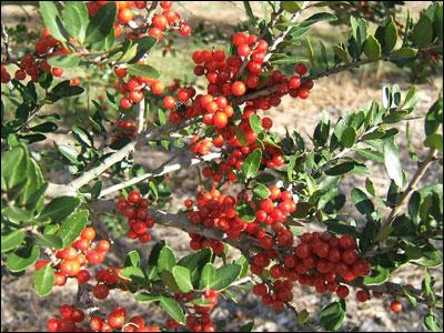 Yaupon holly fruit and foliage. Photo courtesy UF/IFAS.