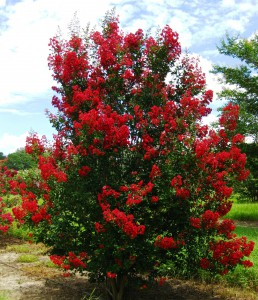 Figure 2. With proper cultivar selection and placement in the landscape, crapemyrtle develops into a beautifully shaped tree that rarely needs pruning. This crapemyrtle is Red Rocket®.