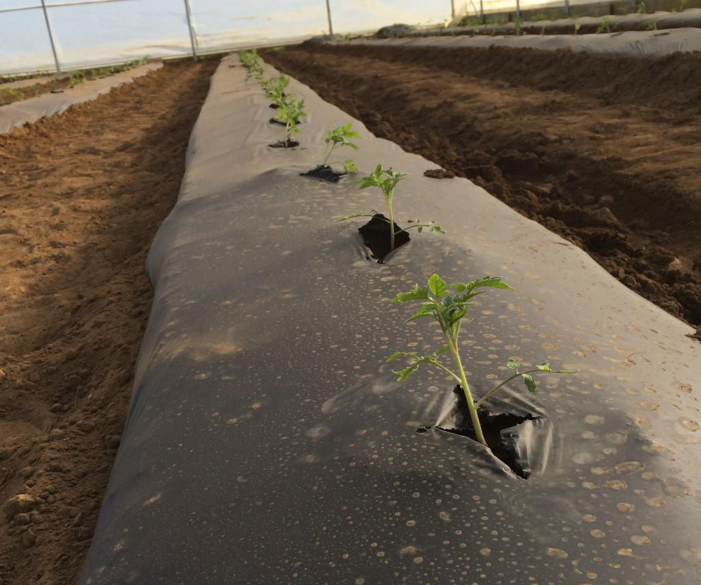 Tomato Plant grown with black plastic mulch - photo credit: Blake Thaxton