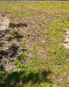 Diseased Turfgrass - Image Credit Matthew Orwat