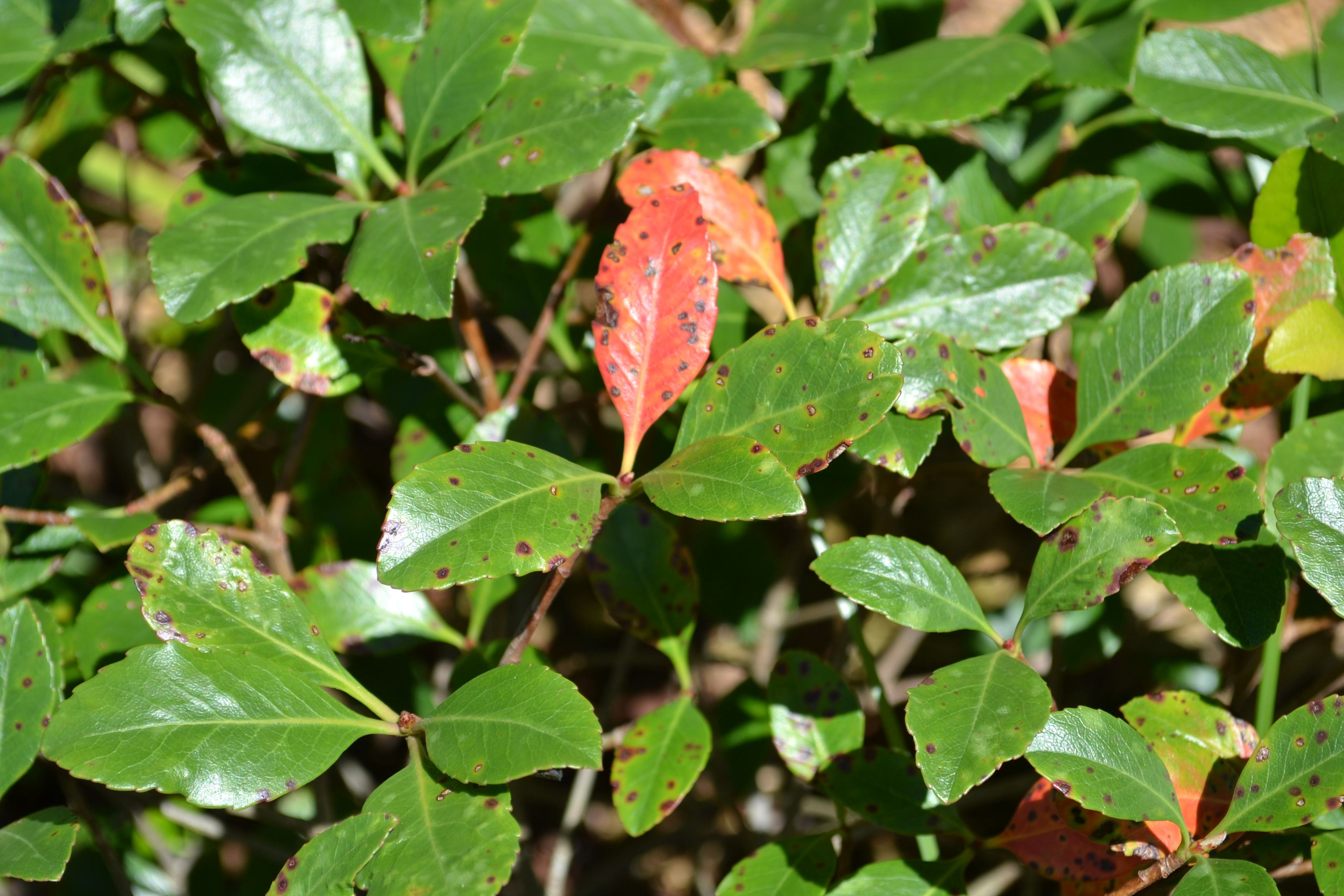 Plan Carefully With Indian Hawthorn Uf Ifas Extension