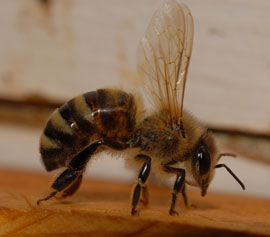 European honey bee. Photo credit: UF/IFAS.