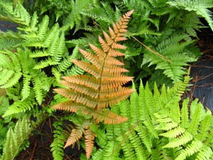 Golden tones of new foliage is what gives Autumn Fern its common name