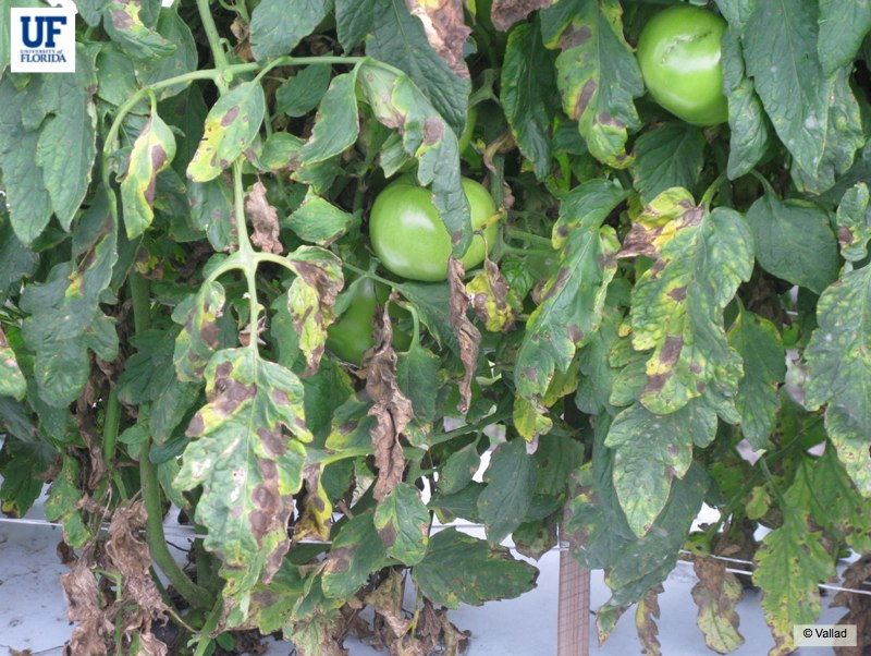 Advanced symptoms of Early Blight (Photo Credit: UF/IFAS U-Scout website)