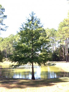 Bald cypress growing at the edge of a pond. Photo:  Julie McConnell, UF/IFAS
