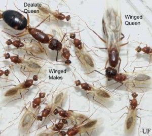 Florida Carpenter Ants. Photo credit: UF/IFAS.