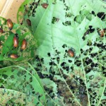 air_potato_leaf_beetle09
