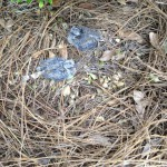 These fledgling doves were found out of their nest and on the ground in late May. Photo credit: Carrie Stevenson