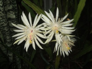 Night blooming cereus. Photo credit: Sally Menk, UF/IFAS Master Gardener.