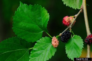 Red Mulberry. Photo credit: Vern Williams, Indiana University, bugwood.org.