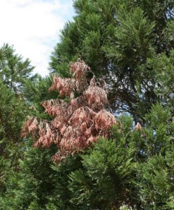 Flag branch on Leyland Cypress. Photo Credit: UF/IFAS