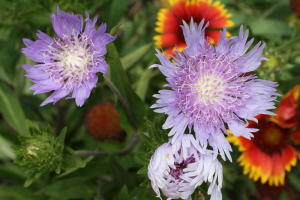 Vibrant blue Stokes' aster. Photo credit: UF/IFAS.