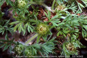 Lawn Burweed Closeup - Image Credit: Joseph M. DiTomaso, University of California - Davis, Bugwood.org, Create Commons License