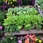 raised bed cabbage cauliflower strawberry