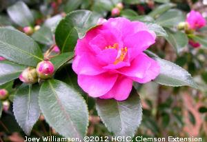Camellia sasanqua 'Shishi Gashira' at the South Carolina Botanical Garden