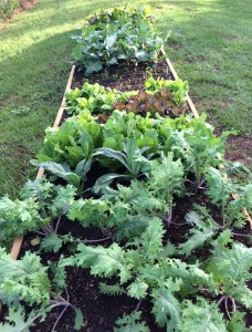 Plant radishes and arugula as gaps form in fall vegetable garden. Photo by Molly Jameson.