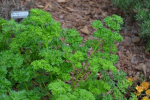 Curled leaf parsley. Photo: Beth Bolles