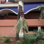 palm collapse