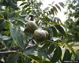 Pecan leaves and fruit. Photo credit: Brad Haire, University of Georgia, Bugwood.org