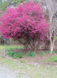 Loropetalum in its tree form