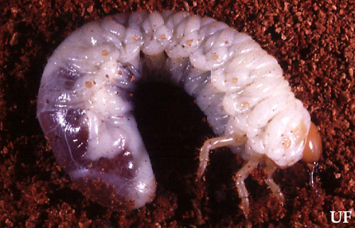 Typical white grub of the genus Phyllophaga. Photograph by John L. Capinera, UF