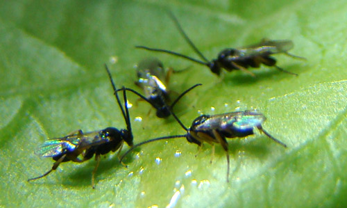 A group of adult Cotesia congregata (Say) wasps feeding on honey solution placed on the underside of a tomato leaf. Photograph by Justin Bredlau, Virginia Commonwealth University.