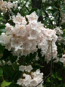 Mountain laurel blooms. Photo credit: Sheila Dunning, UF/IFAS Extension.