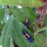 Multicolored Asian Lady Beetle Larvae feeding on aphids.