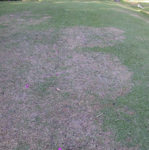 Figure 1. Large (brown) patch disease caused by Rhizoctonia solani. Credit. J. Bryan Unruh, UF/IFAS.