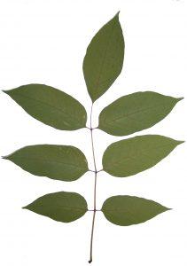 A compound leaf of an ash tree. Photo Credit: FDACS