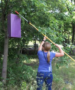 A woman hanging an emerald ash borer trap in a tree. Photo Credit: Texas A&M University