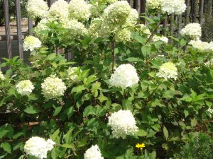 If you want more than one Limelight Hydrangea, you must purchase it. Photo by Beth Bolles