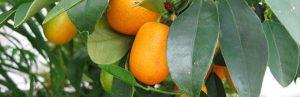 kumquats680