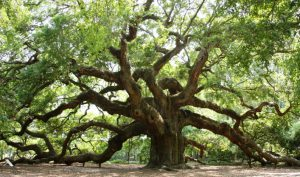 The Angel Oak near Charleston, SC