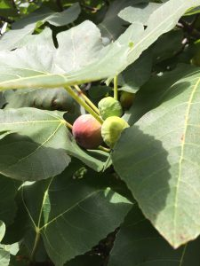Ripe figs are a deep shade of pink to purple. Larger green figs will ripen in a few days. Photo credit: Carrie Stevenson