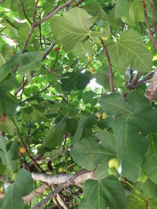 Fig trees can grow quite large and produce hundreds of fruit each year. Photo credit: Carrie Stevenson