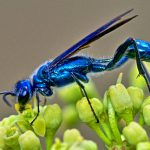 Blue Mud Dauber 2