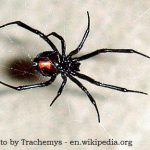 Female-Black-Widow