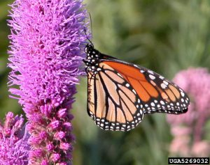 Monarch butterfly on dense blazing star (Liatris spicata var. spicata). Beverly Turner, Jackson Minnesota, Bugwood.org