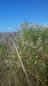 "Saltbush seed in ""bloom"" stands out in a saltmarsh dominated by black needlerush. Photo credit: Zach Schang, FDEP"