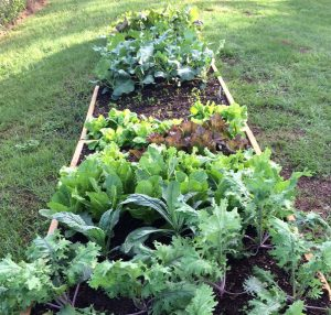 Grow many greens for the fall season. Photo by Molly Jameson.