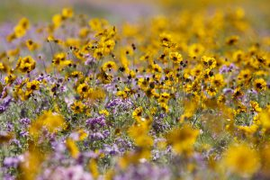 Growing wildflowers is great for pollinators and for you! Credit: UF/IFAS